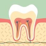 dental cartoon flat vector, healthy tooth anatomy